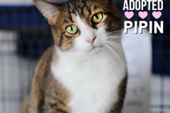Pipin-Adopted-on-April-18-2020