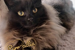 Purr-cillia-Adopted-on-April-14-2019